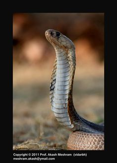 Naja naja; Spectacled Cobra / Indian Cobra