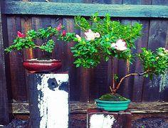 The  Azalea twins. #azalea #bonsai #tinytrees #plants #passion #patience #surfcoastgardens #oceangrovegardens #orientalstyle #bellarinepeninsula #landscaping#livelovegeelong #surfcoastgardens #surfcoast #oceangrove #oceangrove #christianjcreations # by christianjcreations http://ift.tt/1JO3Y6G