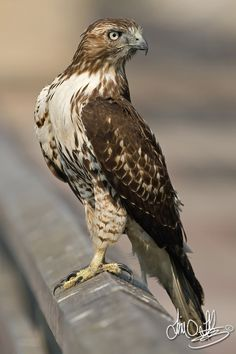 Red-tailed Hawk (Buteo jamaicensis) breeds throughout most of North America.