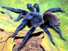 Sazima's tarantula: one of the top ten new species discovered in 2011 according to the annual list by the International Institute for Species Exploration at Arizona State University. Photo by: Caroline S. Bizarre Animals, Animals And Pets, Cute Animals, Cinema 4d, Scorpion, Reptiles, Bbc, Spider Bites, A Bug's Life