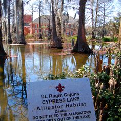UL Ragin Cajuns Cypress Lake swamp located on campus where actual alligators live!