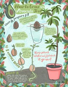 to grow an avocado tree from a pit! cute illustration found on First Pancake Studio to grow an avocado tree from a pit! cute illustration found on First Pancake Studioto grow an avocado tree from a pit! cute illustration found on First Pancake Studio Indoor Garden, Garden Plants, Indoor Plants, House Plants, Tree Garden, Plants For Balcony, Garden Art, Potted Garden, Balcony Gardening
