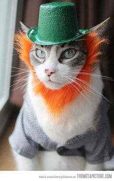 Cat in a St. Paddys festive beard and cap...and he doesn't look happy! If it's OK w/his insides, a bit of beer might have been OK before photo.