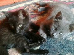 Milù and Giulia! They are lovely kittens of a month and half!