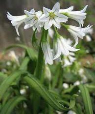 Flores ornamentales: Ajo de adorno (Allium triquetrum)
