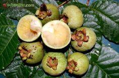 Campomanesia schlechtendaliana / guabiroba-verde