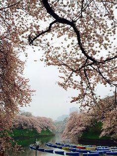 121:「小雨が降る桜満開の千鳥ヶ淵の朝。」@千鳥ヶ淵公園