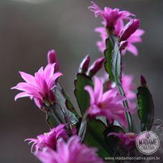 Como fazer mudas de flor de maio e flor de Ooutubro - Dicas de como cuidar - Tutorial - How to - Madame Criativa - www.madamecriativa.com.br