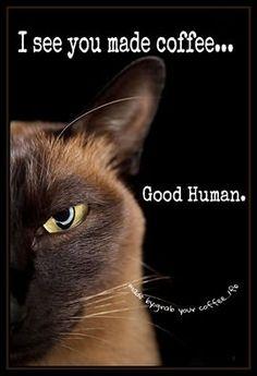 Burmese Cat - feels superior to you Beautiful Cats, Animals Beautiful, Cute Animals, Cute Kittens, Cats And Kittens, Crazy Cat Lady, Crazy Cats, I Love Cats, Cool Cats