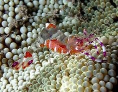 Anemone shrimp. He's awesome! Transparent body. • ©Nick Hobgood