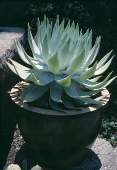 Britton dudleya (Dudleya brittonii) in a decorative pot in a Sebastopol garden. Photograph by Phil Van Soelen