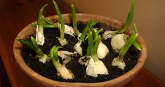Who knew it was this easy to grow garlic!