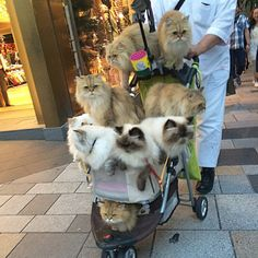 A man is pushing a stroller full of cats around Tokyo - credit to: swipurr.com