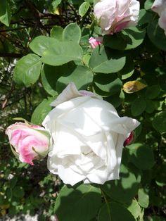 ma rose romantique