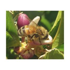 Honeybee Wrapped Canvas Canvas Prints - Closeup photograph of a bee on a lemon blossom.