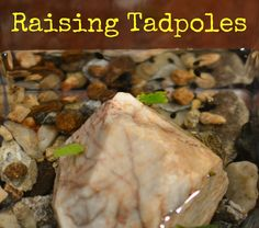 In Lieu of Preschool: {Raising Tadpoles: A Documentary} - Day One: We have Tadpoles!!