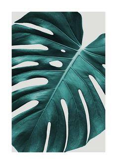 Monstera plant Plakat i gruppen Plakater / Størrelser / hos Desenio AB Poster Shop, Poster Prints, Buy Posters Online, Prints Online, Decoration Plante, Beach Posters, Colorful Plants, Animal Posters, Modern Art Prints
