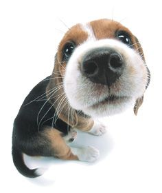 Are you interested in a Beagle? Well, the Beagle is one of the few popular dogs that will adapt much faster to any home. Baby Beagle, Beagle Puppy, Animals And Pets, Funny Animals, Cute Animals, Pet Dogs, Dog Cat, Doggies, Cute Puppies