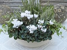 White is always a wonderful colour to use in flower arrangements.White is always a wonderful colour to use in flower arrangements. It is probably mostly associated with summer. It is surprising how many w. Container Flowers, Container Plants, Container Gardening, Winter Greenhouse, Greenhouse Gardening, Winter Window Boxes, Winter Planter, White Flower Arrangements, Ivy Plants