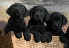 my lovely labrador puppies Fortunate