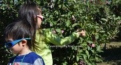 VISITING THE ORCHARD DURING AUTUMN'S APPLE FESTIVAL  -----  Apple Festival Orchard Picking | Learning By Kids | LearningByKids.com