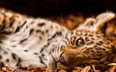 hd adorable leopard wallpaper