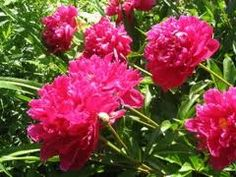 Peony......gorgeous! I have these in my flower bed