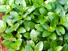 10 Magical Herbs to Use in Pagan Practice: Pennyroyal