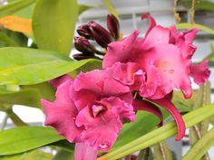 Minhas Plantas---------orquidea hibrida