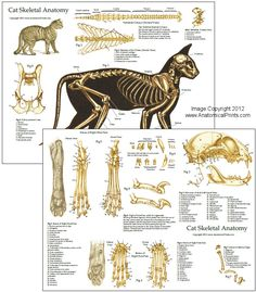 Cat Skeletal Anatomy Laminated Chart