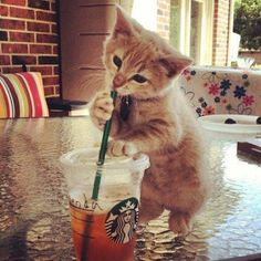 Starbucks cat
