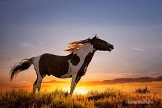 Wild horses roaming free Photo by Robin Wadhams Clydesdale, Majestic Horse, Majestic Animals, Cute Horses, Horse Love, Appaloosa, Cheval Pie, Zebras, Paint Horse