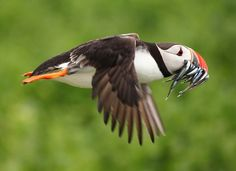 The Unpopular Opinion Adorable Puffins