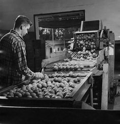 Worker wearing gloves at the Canoga Citrus Association packing house inspecting fruit on a conveyor belt, circa 1935-1945. San Fernando Valley History Digital Library.