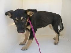 11/15/16-HOUSTON - HIGH KILL FACILITY - ALL DOGS URGENT DUE TO OVERCROWDING -This DOG - ID#A472378 I am a female, black and brown German Shepherd Dog mix. My age is unknown. I have been at the shelter since Nov 15, 2016. Harris County Public Health and Environmental Services. https://www.facebook.com/petsofharriscountyanimalshelterhouston/videos/1306323159431479/