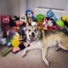 Once we took out his entire stash of toys, he was ECSTATIC! I don't think he could smile any happier!  #AlaskanKleeKai