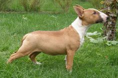 Miniature Bull Terrier Puppies For Sale - Puppy Breeders