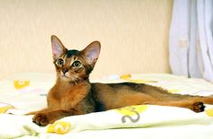 Alert and personable, the Somali is an intelligent cat that loves life. Read more: http://www.petguide.com/breeds/cat/somali/