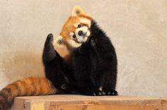 Red panda | yoga!