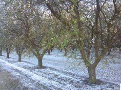 More almond blossoms