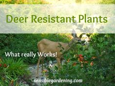 When it comes to deer, nothing is totally sacred. I'm convinced a hungry deer will just about eat anything. Of course, they do have favourites and many plants are seldom if ever bothered by them. Collection of deer resistant plants that really work.