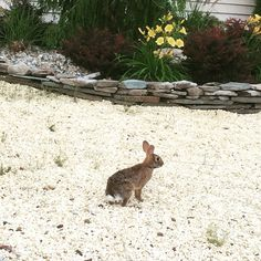 There was a little bunny hopping around