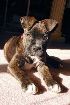 2 month old boxer/American bulldog mix.  He's my baby. @KaufmannsPuppy