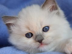 Ragdoll cats and kittens Photo Gallery. Ragdoll cat breeders in Ohio. Ragdoll Cat Breeders, Ragdoll Kittens For Sale, Munchkin Kitten, Ragdoll Cats, Cats And Kittens, Boxer Puppies, Beagle Dog, Dogs And Puppies, Boxer Mix