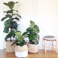 Fiddle leaf fig tree basket