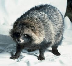 "Raccoon Dog (not a raccoon) so cute and beautiful! these animals are used for accessories that you think is faux fur, but it is not! Dont wear fur or ""faux fur"""