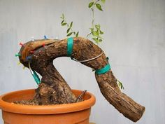 ✅ Bonsai: Advanced technique. Graft of vein alive performed on Olea europaea by Stefano Defraia - YouTube
