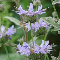 Salvia x 'Calamity Jane' Lavender Flowers, Blue Flowers, Online Plant Nursery, Calamity Jane, Dry Garden, Companion Planting, Plant Needs, Hedges, Deep Purple