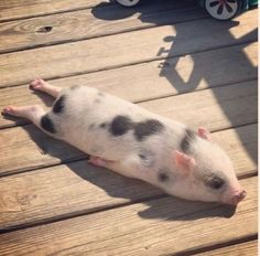 72 Of The Funny Animal Memes To Start The Week With A Smile My colleague's pig, Bacon seed, sun-bathing :))) Baby Animals Pictures, Cute Animal Photos, Funny Animal Pictures, Animals And Pets, Disney Pictures, Disney Pics, Funny Disney, Pink Animals, Black Animals
