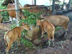 Cara Memelihara Sapi Agar Sehat dan Gemuk - waktu saya masih sering dirumah dulu ayah saya memelihara sapi jantan, yang di pelihara sendiri. sapi jantan yang di kasih pakan rumput rumputan yang di cari di pekebunan sekitar rumah atau ladang, dan terkadang sapi ini di kasih jamu atau katul untuk membantu pertumbuhan perkembangannya dan bertambah gemuk dan sehat